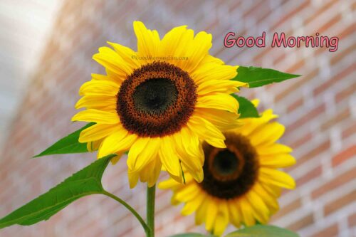 Good Morning with Sunflower flowers bright yellow