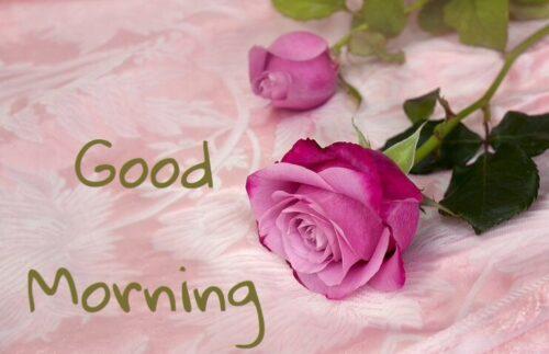 Beautiful Rose Good Morning Status
