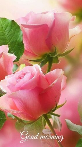 Pink Rose Good Morning
